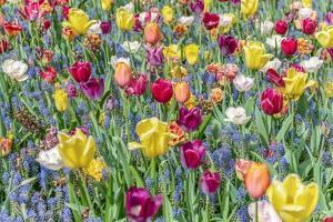 Kuekenhof Tulips I by Richard Silver