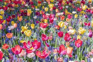Kuekenhof Tulips II by Richard Silver