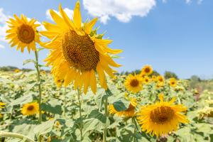 Sunflowers I by Richard Silver