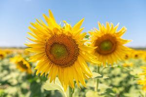 Sunflowers II by Richard Silver