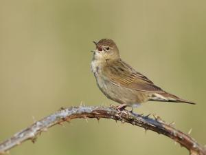 Grasshopper Warbler (Locustella Naevia) Singing, Wirral, England, UK, May 2012 by Richard Steel