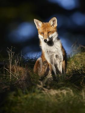 Red Fox (Vulpes Vulpes) Sitting in Deciduous Woodland, Lancashire, England, UK, November by Richard Steel