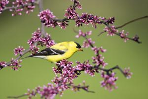 American Goldfinch (Carduelis tristis) male in Eastern Redbud tree Marion, Illinois, USA. by Richard & Susan Day