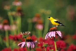American Goldfinch male on Purple Coneflower in flower garden, Marion County, Illinois by Richard & Susan Day