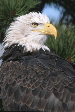 Bald Eagle (Haliaeetus Leucocephalus) in pine tree, Colorado by Richard & Susan Day