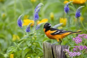 Baltimore Oriole on post in flower garden with Pink Yarrow, Blue Veronica, Illinois by Richard & Susan Day
