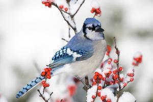 Blue Jay (Cyanocitta cristata) in Common Winterberry in winter, Marion Co. IL by Richard & Susan Day
