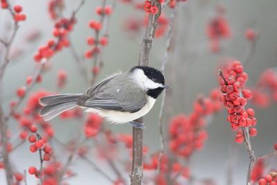 Carolina Chickadee (Poecile carolinensis) in Common Winterberry in winter, Marion, Illinois, USA.