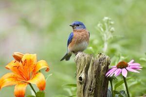 Eastern Bluebird (Sialia sialis) male on fence post near flower garden, Marion, Illinois, USA. by Richard & Susan Day