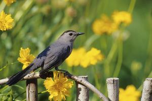 Gray Catbird on wooden fence near Lance-leaved Coreopsis, Marion, IL by Richard & Susan Day
