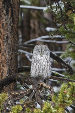 Great Gray Owl, Yellowstone National Park, Wyoming by Richard & Susan Day