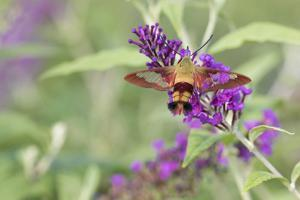 Hummingbird Clearwing on Butterfly Bush, Marion County, Illinois by Richard & Susan Day