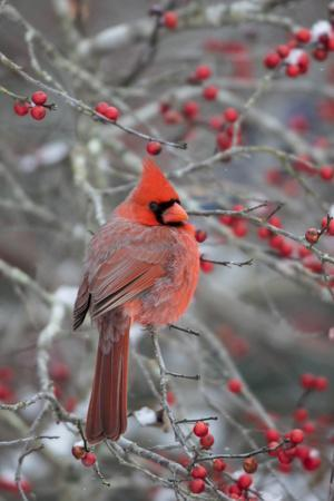Male northern cardinal in winterberry bush. Marion County, Illinois.