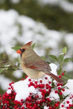 Northern Cardinal female in Nandina bush (Nandina domestica) in winter Marion Co. IL by Richard & Susan Day