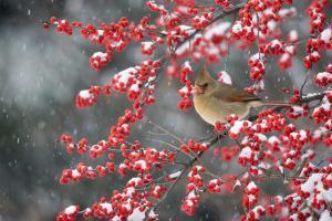 Northern Cardinal female on Common Winterberry (Ilex verticillata) in snow Marion Co. IL by Richard & Susan Day