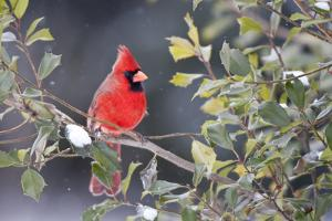 Northern Cardinal male in American Holly (Ilex opaca) tree in winter Marion County, IL by Richard & Susan Day