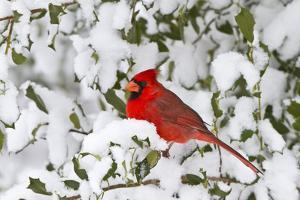 Northern Cardinal male in American Holly in winter, Marion, Illinois by Richard & Susan Day