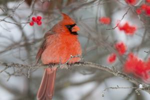 Northern Cardinal male in Common Winterberry bush in winter, Marion County, Illinois by Richard & Susan Day
