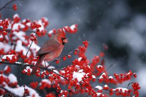 Northern Cardinal male in Common Winterberry (Ilex verticillata) in winter Marion County, Illinois by Richard & Susan Day