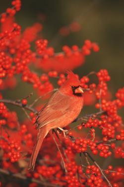 Northern Cardinal male in Common Winterberry (Ilex verticillata) Marion, IL by Richard & Susan Day