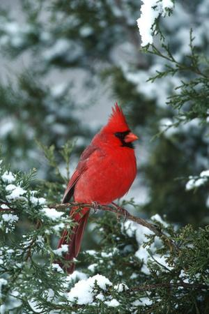 Northern Cardinal male in Juniper tree in winter Marion County, Illinois