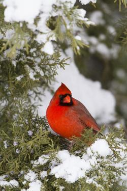 Northern Cardinal male in Juniper tree in winter Marion, Illinois, USA. by Richard & Susan Day