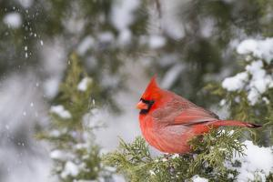 Northern Cardinal male in Juniper tree (Juniperus keteleeri) in winter Marion, Illinois, USA. by Richard & Susan Day