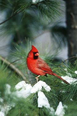 Northern Cardinal male in Pine tree in winter Marion County, Illinois by Richard & Susan Day