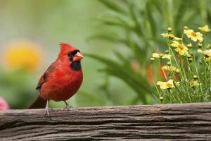 Northern Cardinal male on fence near flower garden, Marion, Illinois, USA. by Richard & Susan Day