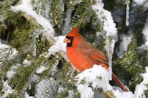 Northern Cardinal male on Serbian Spruce in winter, Marion, Illinois, USA. by Richard & Susan Day