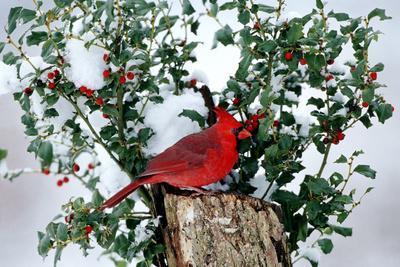 Northern Cardinal male on stump near China Holly (Ilex cornuta) in winter, Marion, IL