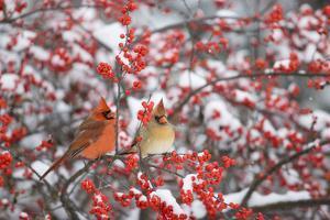 Northern Cardinals male & female on Common Winterberry (Ilex verticillata) in snow Marion Co. IL by Richard & Susan Day