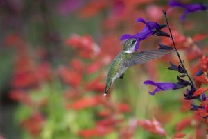 Ruby-throated hummingbird on purple majesty salvia. Marion County, Illinois. by Richard & Susan Day