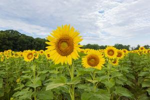 Sunflowers in field, Jasper County, Illinois. by Richard & Susan Day