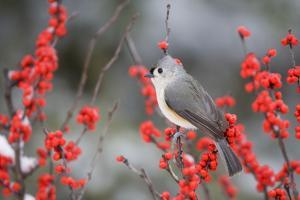 Tufted Titmouse (Baeolophus bicolor) in Common Winterberry Marion Co. IL by Richard & Susan Day