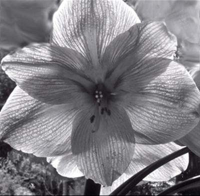 Lily Grace by Richard Sutton