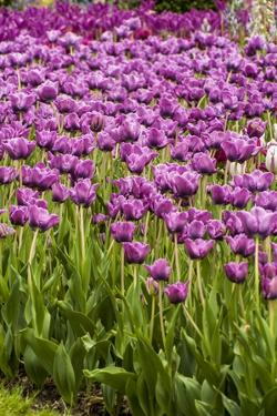 Bed of Purple Tulip Flowers by Richard T. Nowitz
