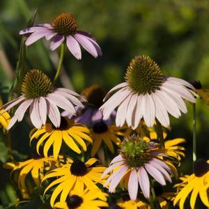 Black-Eyed Susan and Echinacea Flowers by Richard T. Nowitz
