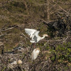 Cattle Egret with Chicks at Wakodahatchee Wetlands. by Richard T. Nowitz