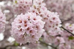 Close-Up of Cherry Blossoms by Richard T. Nowitz