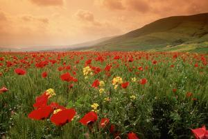 Field of Blooming Poppies by Richard T. Nowitz