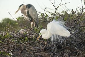 Great Blue Heron and Great White Egret by Richard T. Nowitz