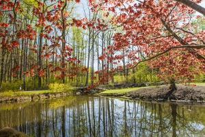Japanese Maple and Pond in Spring by Richard T. Nowitz