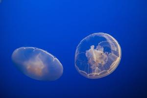 Moon Jelly Fish by Richard T. Nowitz