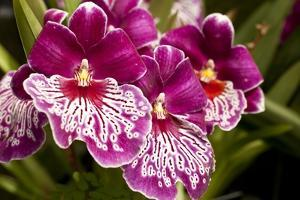 Purple Butterfly Orchids by Richard T. Nowitz