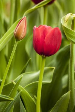 Red Tulip and Tulip Bud by Richard T. Nowitz
