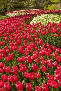 Red Tulip in Bloom by Richard T. Nowitz