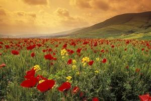 Red Wild Poppies in Galilee by Richard T. Nowitz