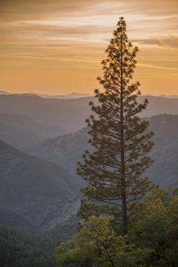 Sierra Nevada Mountains with Ponderosa Pine by Richard T Nowitz
