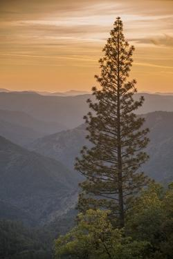 Sierra Nevada Mountains with Ponderosa Pine by Richard T Nowitz